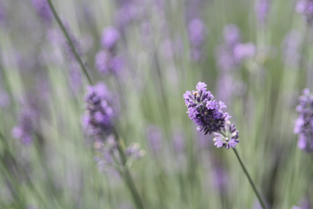 lavender fill long island flower